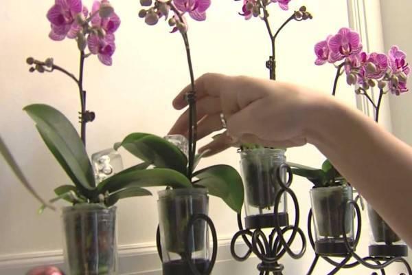 Все о цветении фаленопсиса в домашних условиях: правила ухода и полива и где похвастаться фото вашей орхидеи