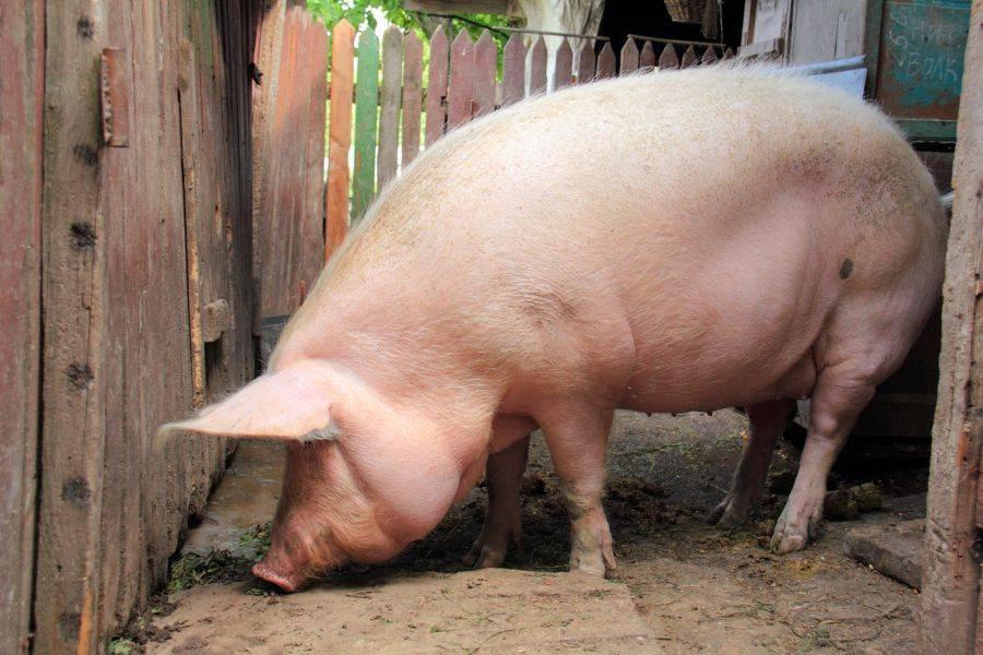 Все о породе свиней крупная белая: описание, характеристики, условия выращивания