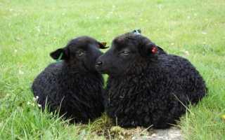 Карачаевская порода овец: основные характеристики и ценность породы