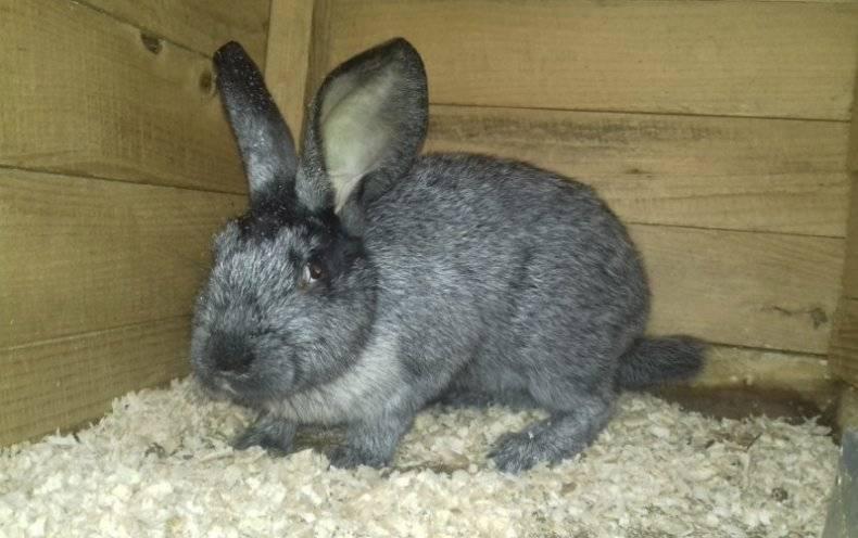 Кролики серебро: характеристика, разведение и содержание, видео и фото