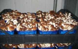 Белые грибы в домашних условиях — условия содержания и основы выращивания для начинающих (130 фото)