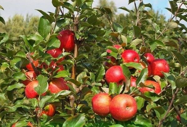 Позднеспелая яблоня хани (хоней) крисп