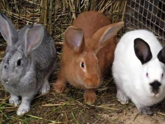 Кролики породы рекс - важные рекомендации по содержанию