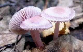 Что вы знаете о сиреневом грибе — рядовка фиолетовая?