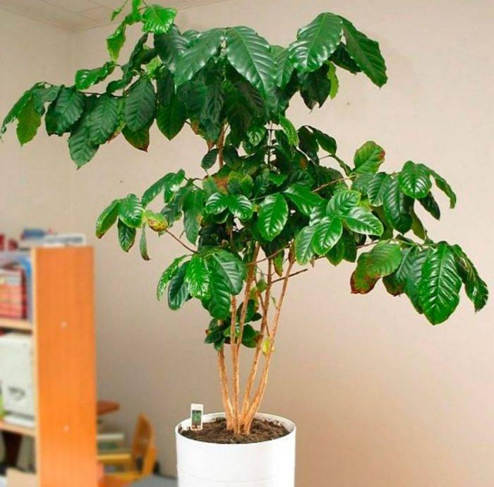 Кофейное Дерево: уход в домашних условиях, болезни, фото и видео