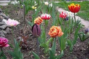 Пересадка тюльпанов весной с одного места на другое