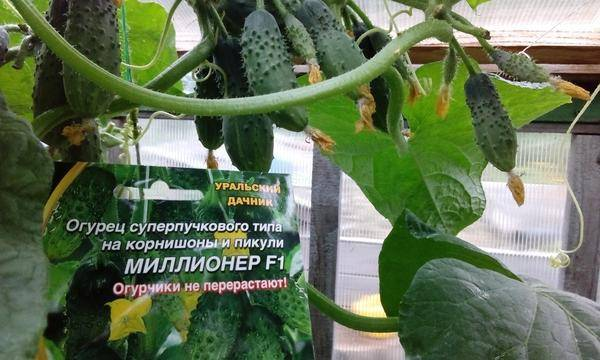 Огурец всем на зависть f1: описание, выращивание, уход, фото