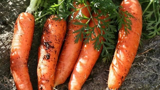 Лучшие сорта моркови для сибири отзывы