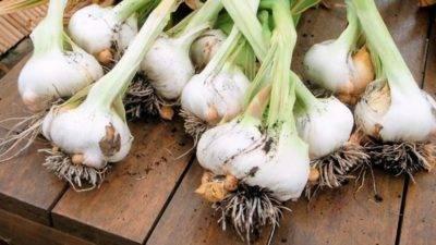 Когда и как правильно сажать чеснок весной и осенью, уход, уборка и хранение чеснока