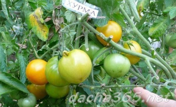 Томат хурма: описание и характеристика сорта, особенности выращивания помидоров, пасынкования, отзывы, фото