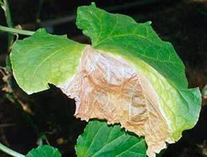 Огурцы сохнут: что делать, почему сохнут листья в теплице и в открытом грунте
