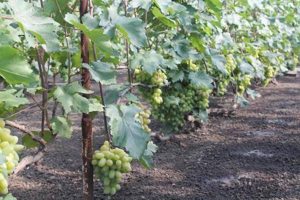 Виноград «ландыш»: описание сорта, фото, отзывы