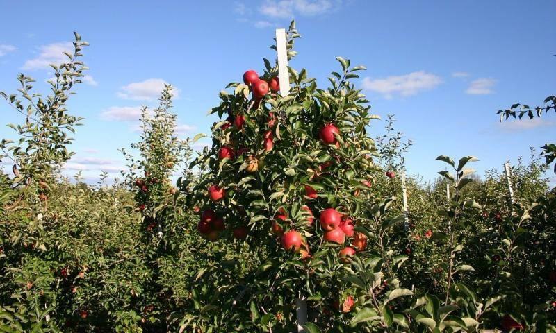 Как обрезать колоновидную яблоню — правила и тонкости