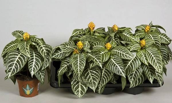 Интересное комнатное растение — афеландра оттопыренная. характеристика цветка, нюансы выращивания