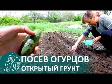 Высадка рассады огурцов в открытый грунт: как и когда правильно сажать, сроки, фото, видео