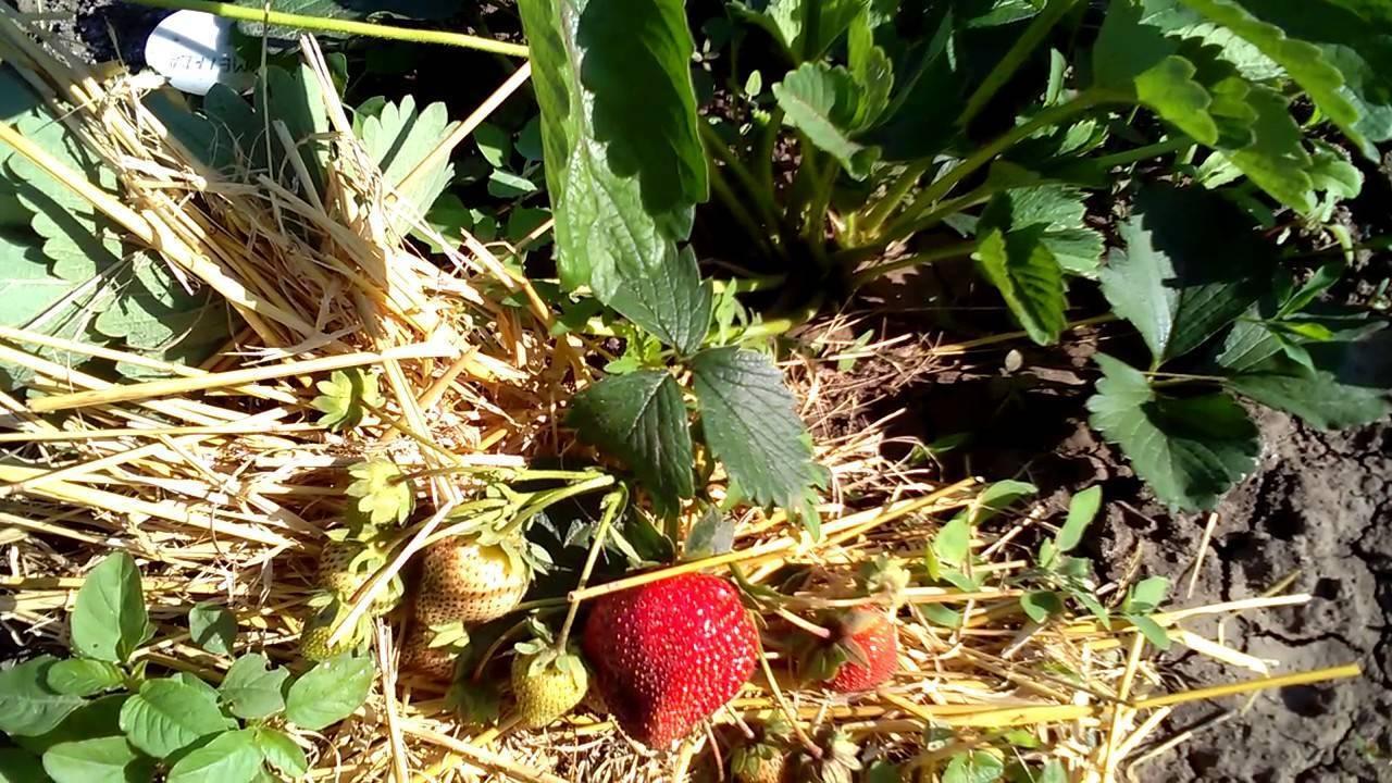Клубника мармелада: описание сорта, фото, отзывы садоводов