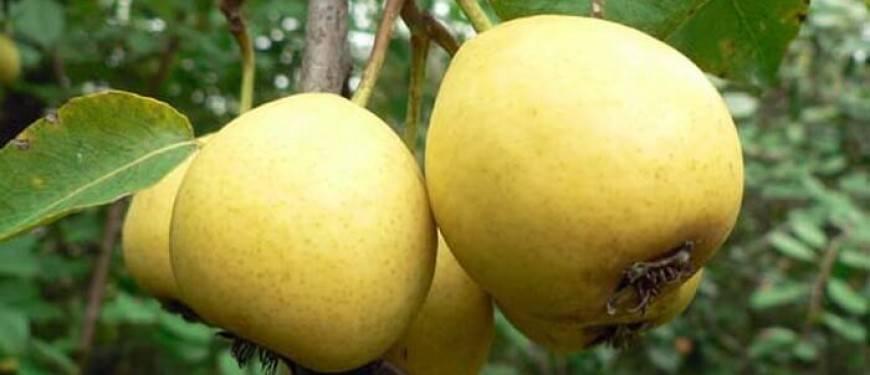Сорта груши для подмосковья самоплодные, низкорослые: 20 лучших видов с описанием
