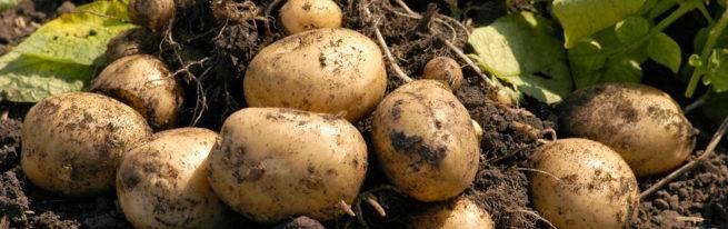 Картофельный проволочник – методы борьбы