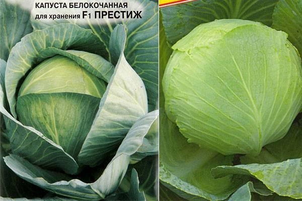 Характеристика капусты сорта Престиж f1