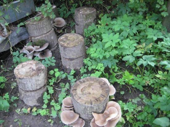 Подробно о технологии выращивания вешенки в мешках