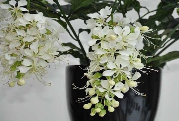 Клеродендрум просперо: описание растения и его фото, а также посадка и уход, способы размножения