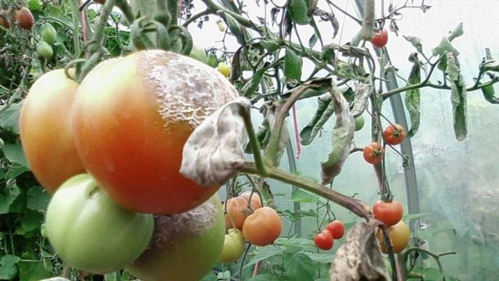 Медный купорос для помидоров: приготовление и применение