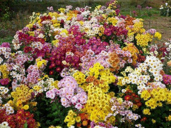 Хризантемы сантини: разновидности, рекомендации по уходу и размножению