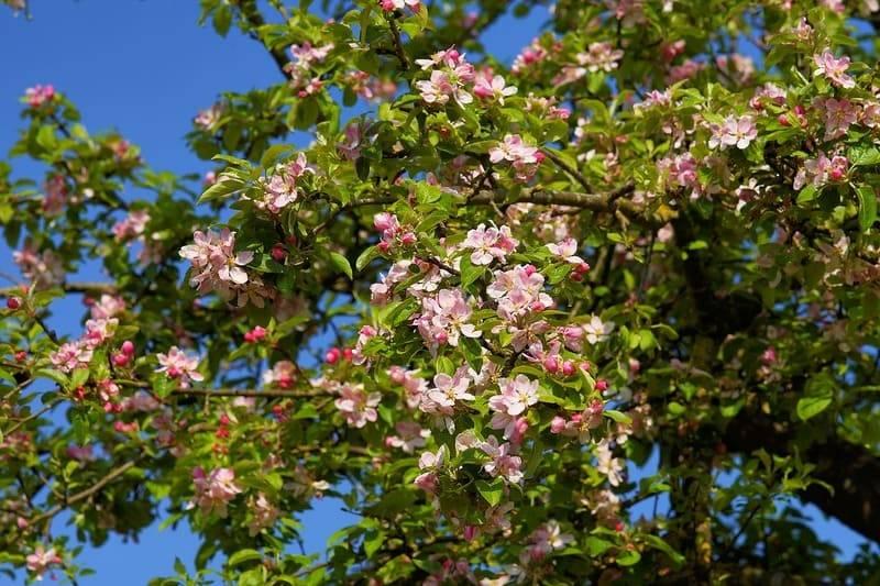 Подкормка яблонь весной, летом и осенью: виды удобрений, советы