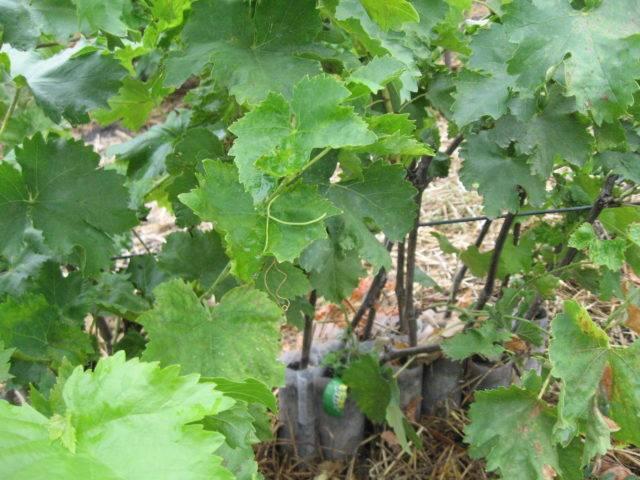 Когда и как укрывать виноград осенью - выбор материала и способа