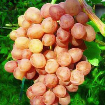 Виноград кишмиш находка описание сорта фото - журнал садовода ryazanameli.ru