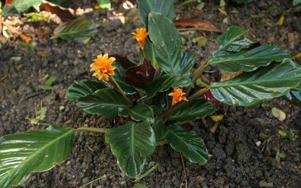 Calathea: уход в домашних условиях, особенности пересадки и размножения цветка