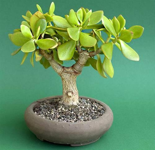 Толстянка (денежное дерево): уход в домашних условиях (фото), болезни, пересадка, размножение
