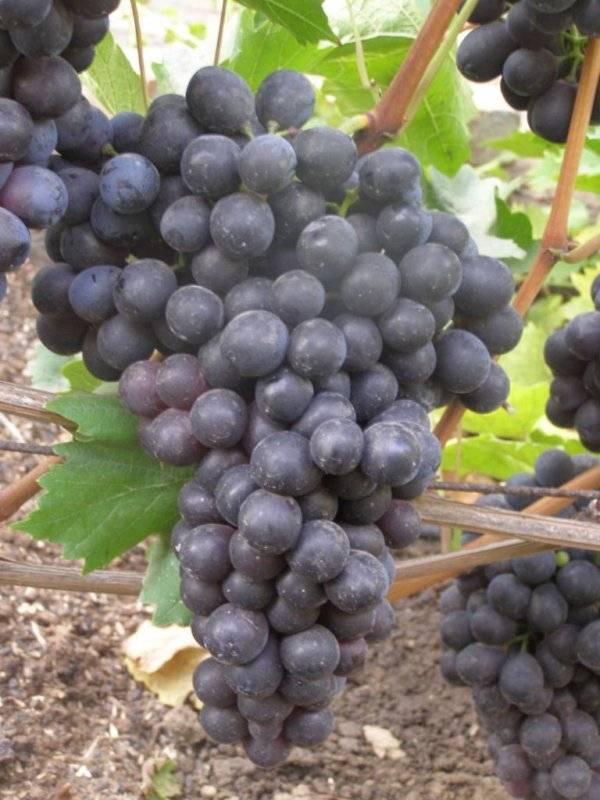 Особенности винограда Шахтёр