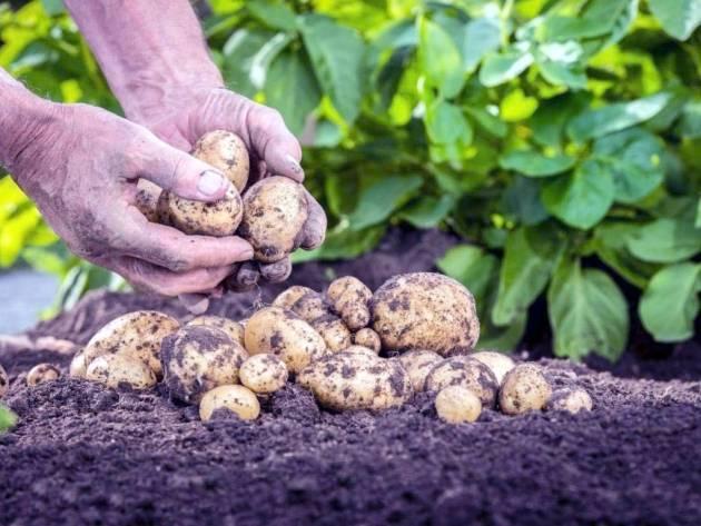 Технология возделывания картофеля для лучшего урожая