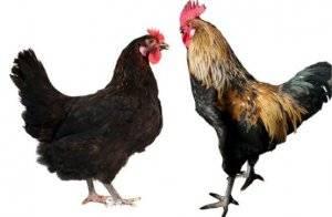 Московская черная порода кур: описание, фото и видео