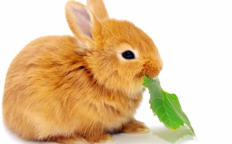 ᐉ обзор рыжих пород кроликов: описание и характеристики - zooon.ru