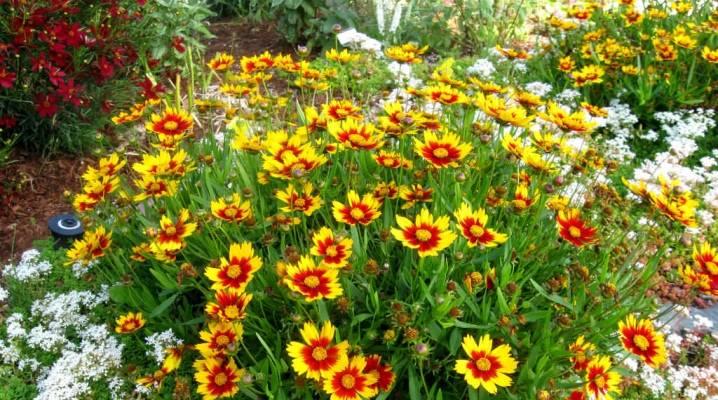 Кореопсис (60 фото): посадка и уход в открытом грунте, красильный, крупноцветковый и ланцетовидный, махровые и желтые сорта