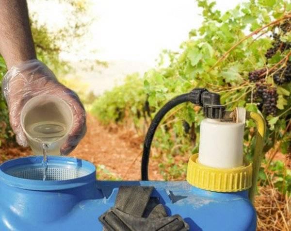 Обработка винограда — 105 фото основных болезней и вредителей и видео описание методов обработки виноградников