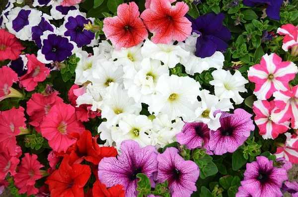Как вырастить цветы петунии: посадка семенами и размножение черенкованием, уход, описание разных видов и сортов
