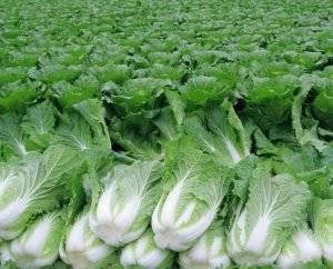 Польза пекинской капусты для похудения, диетические рецепты и калорийность