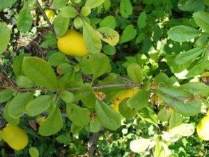 То ли яблоко, то ли нет: айва - польза и вред плода любви для здоровья