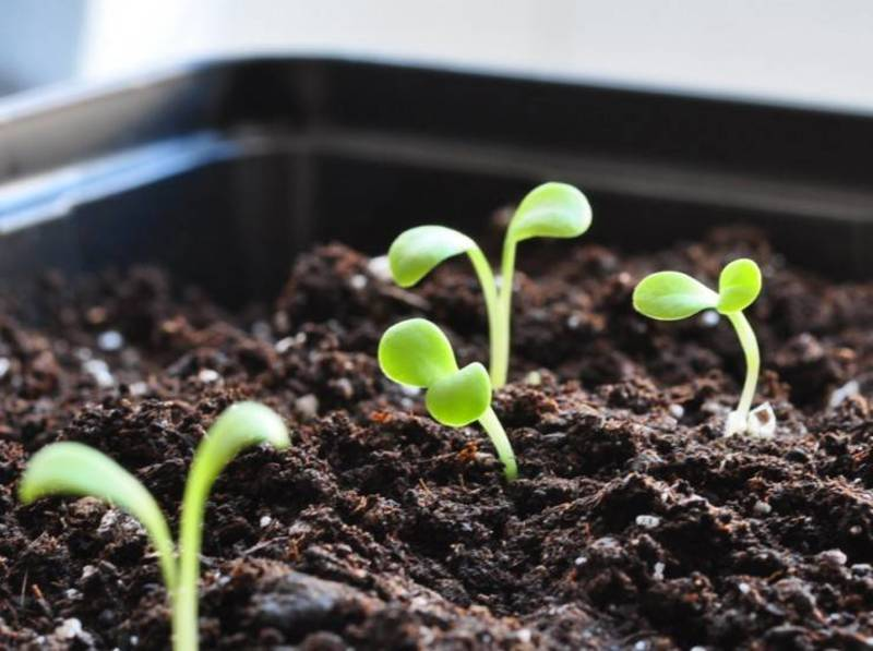 Как вырастить гацанию (газанию) из семян?
