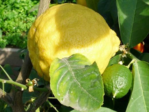 Как хранить лимоны, чтобы они долго сохраняли свои вкусовые качества?