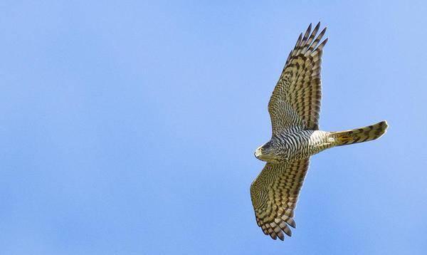 Каких хищных птиц можно встретить в москве