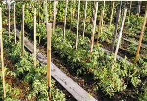 Как подвязывать помидоры в теплице и в открытом грунте