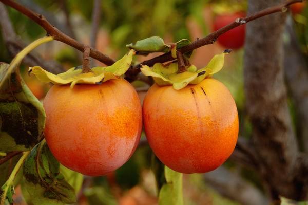 Хурма: выращивание из косточки в домашних условиях и открытом грунте