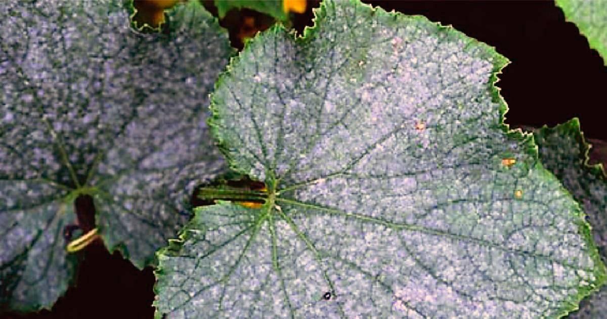 Как бороться с мучнистой росой на огурцах в теплице и открытом грунте