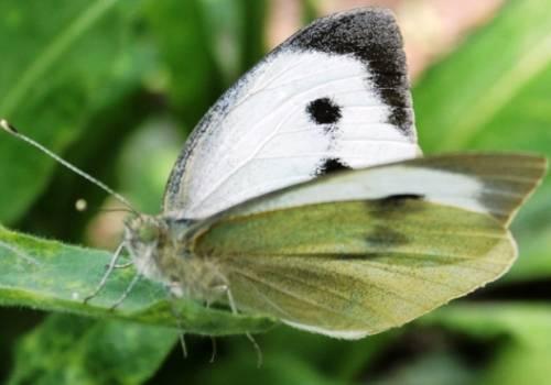 Как защитить капусту от бабочки капустницы: химические препараты и народные средства