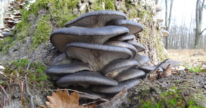 Грибы вешенки - 74 фото большого и очень вкусного гриба