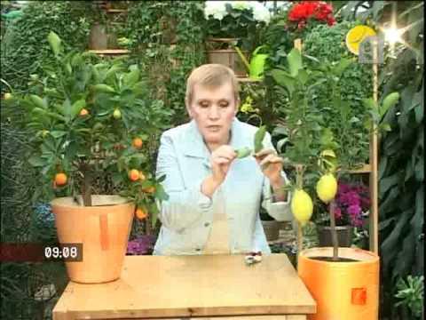 Как ухаживать за лимоном в домашних условиях, чтобы он плодоносил: советы пошагово